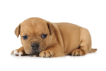 American Staffordshire Terrier puppy on white background