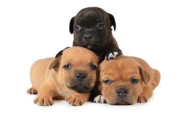 Portrait of three American Staffordshire Terrier puppies