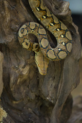 Reticulated python, Boa constrictor snake on tree branch