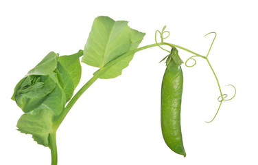pea stem with green pod and leaves