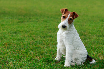 Dog breed Fox terrier