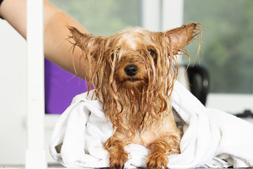 Wet yorkshire terrier dog in a towel