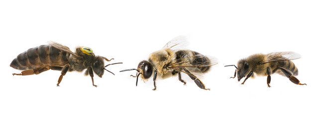 Spoed Fotobehang Bee bee queen mother and drone and bee worker - three types of bee (apis mellifera)