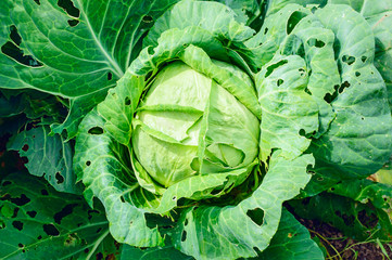 Pests eat cabbage growing on a bed. Close-up.