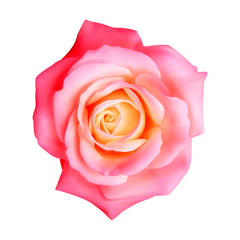 Realistic rose, vector illustration on white background