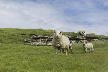 Sheep on Orkney Islands, Scotland