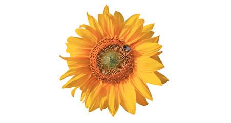 Wunderschöne Sonnenblume mit einer Biene