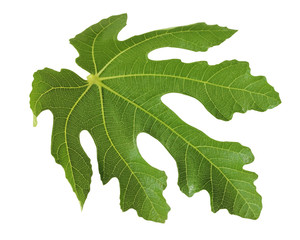 Fig leaf isolated on a white background.