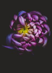 kiku (chrysanthemum)