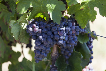 Francja. Winnic winnice bordelais, poważne. Gironde