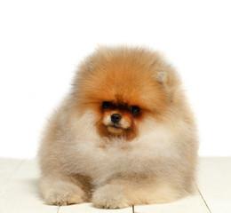 Pomeranian on white background, puppy, dog, isolated