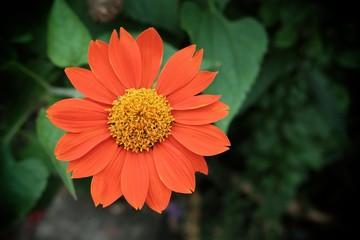 Closed-up Zinnia Flower.