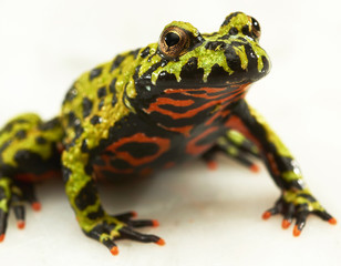 Fire-bellied toad on white.