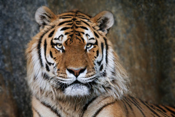 Imposanter Tiger - Portrait