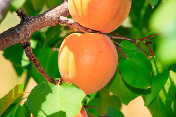 Apricot tree with fruits