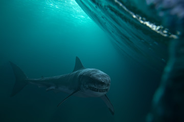 Great White Shark near by water surface. Underwater wildlife shot.
