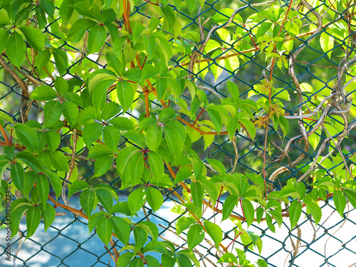vines with leaves climbing on chain link fence stock photo and