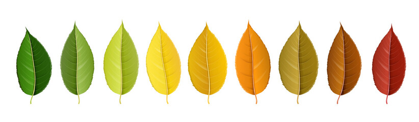 Autumn leaf set arranged in color palette in row, isolated on white, for autumn design and decoration. Realistic vector illustration. Fotoväggar
