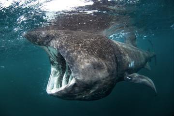 basking shark, cetorhinus maximus, Coll island, Scotland
