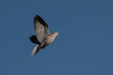 Eurasian Collared Dove, Eurasian Collared-dove,  Pigeons, Streptopelia decaocto