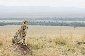 Gepardin haelt nach Beute Ausschau