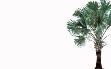 Sugar palm tree on white background with copy space for input text or object