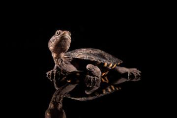 Baby Eastern Long-Necked Turtle looking upwards