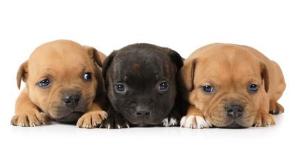 Portrait of three Staffordshire Terrier puppies
