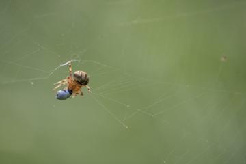 Neoscona spider