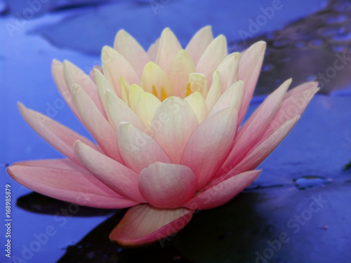 Water Lily Flower White Garden Nature Closeup Beautiful