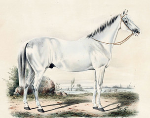 Illustration of thoroughbred horses.