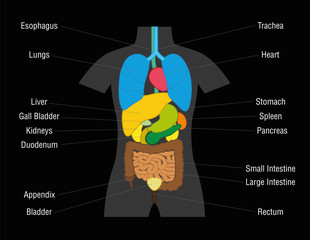 Inner organs chart - schematic illustration with colored organs and their names - isolated vector illustration on black background.