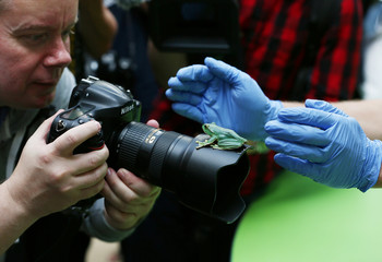 A fleas flying tree frog sits on a photographers lens during a photocall for the annual weigh-in at London Zoo in London