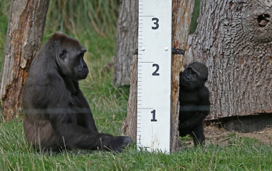 Gorillas sit next to a ruler during a photocall for the annual weigh-in at London Zoo in London