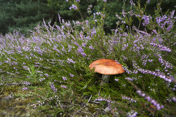 Mushroom in Heather