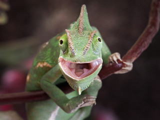 Poster Kameleon Green chameleon hunting. Portrait of an exotic animal. Macro