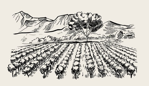 Vineyard and winery. vector sketch drawn by hand
