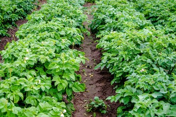 Potatoes grow on a bed on a farm