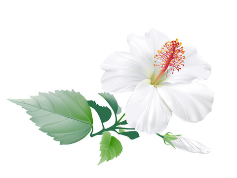 Hibiscus. Hand drawn vector illustration of a large white tropical flower on transparent background.