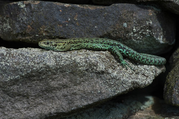 Viviparous Lizard (Zootoca vivipara)/Common Lizard basking on lichen covered stone wall