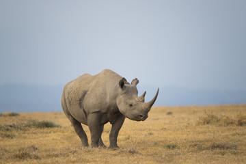Nashorn durchstreift die Savanne