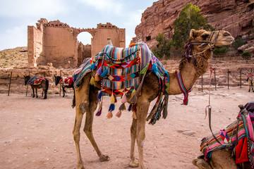 Arab camels in the ancient city of Petra, Jordan