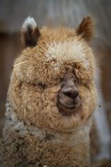 Fotorolgordijn Lama Fluffy Llama