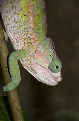 Cameleon Parson; male; Chamaeleo p.parsonii; Madagascar