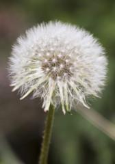 A Dandelion Seed Head or a Blowball