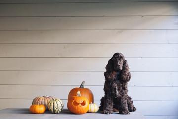 Cocker spaniel dog sitting next to halloween pumpkins