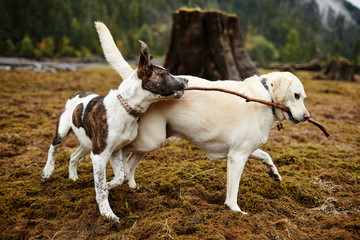 Dogs share a stick