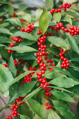 Red Winterberry Holly with green leaves