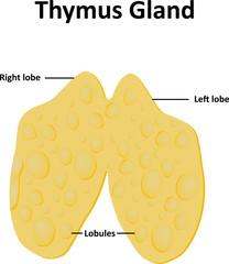Thymus Gland Labelled Illustration