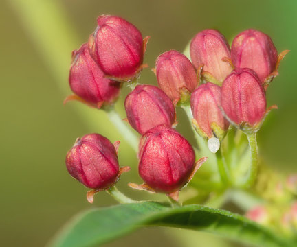 Monarch butterfly egg attached to a tropical milkweed flower